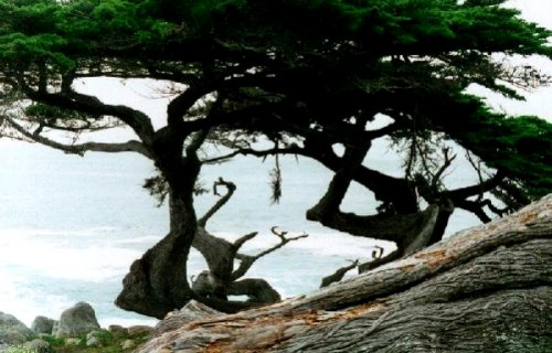 Cypress trees in Monterey, California