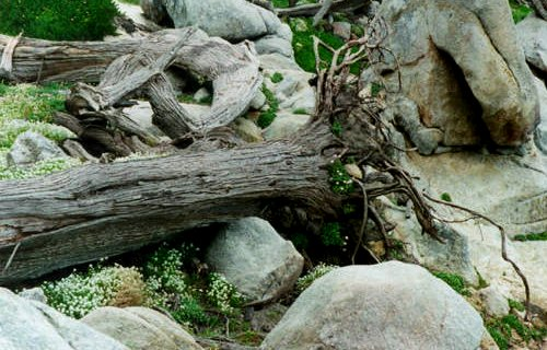 A Fallen Tree with new floral growth on the rocks along the 17-mile drive, Monterey, California