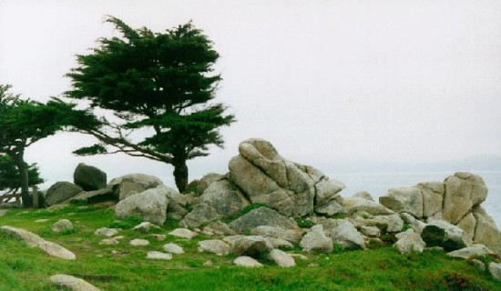 Cypress Tree, Monterey, CA